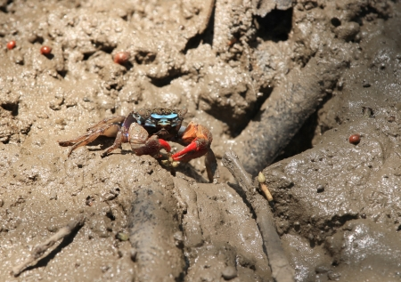 Fiddler crab (chiromanthes eumolpe) in mangrove forest photo