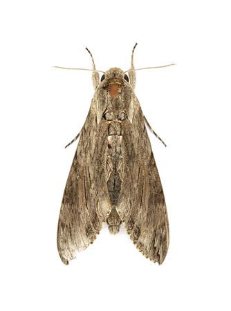 Moth isolated on white background