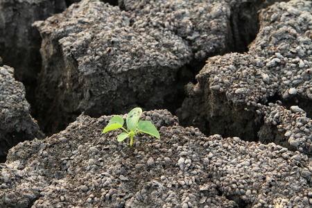 barrenness: Plant in cracked clay ground