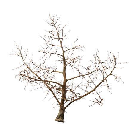 Leafless tree isolated on white background