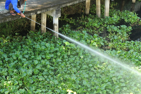 unwanted flora: Man spraying herbicide to kill water hyacinth in the canal