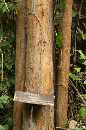 Siamese rosewood or Thailand rosewood tree in national park of thailand (thai name on label)