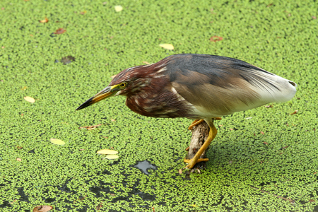 fished: Pond heron fished at the marsh land Stock Photo
