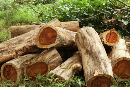 Wood logs of Siamese rosewood or Thailand rosewood in the forest