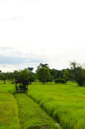Hut on rice field Stock Photo - 10408253