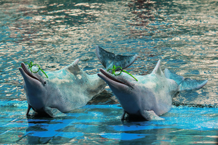 pink dolphin: Pink Dolphin show in Thailand at sea park in Rayong province