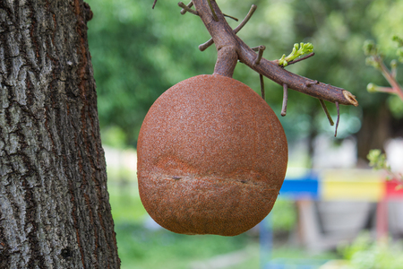 subcontinent: This tree is native to the Indian subcontinent