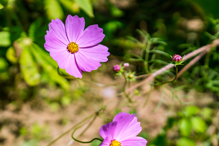 A group of Mexican Aster in the gardent in sunny day of northern thailand. Stock fotó