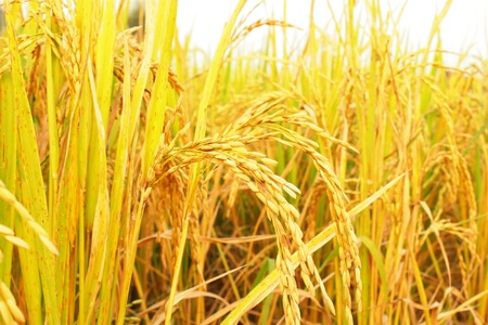 reaping: Golden paddy rice field ready for harvest.
