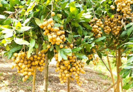 Tropical fruits longan on the tree , in an agricultural north of Thailand photo