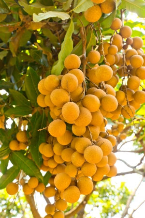 Tropical fruits longan on the tree , Thailand photo