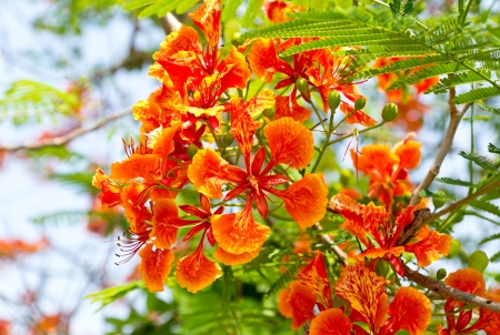 flamboyant: Flam-boyant, The Flame Tree, Royal Poinciana