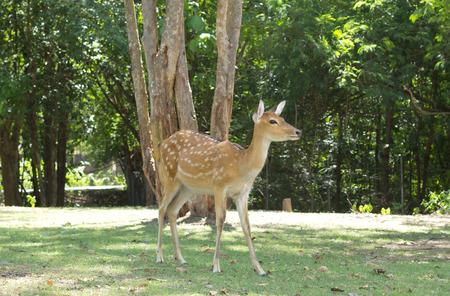 nippon: Sika deer, Cervus nippon