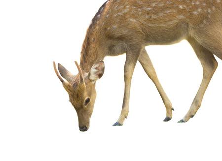 sika deer: sika deer on white background