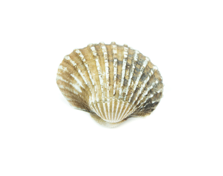 cockles: fresh cockles  on white background