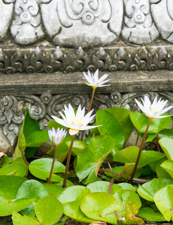 garden pond: White lotus, Water lily in garden pond