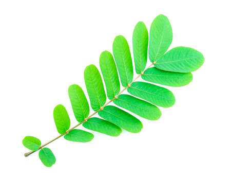 Branches with green leaf on white background Banco de Imagens