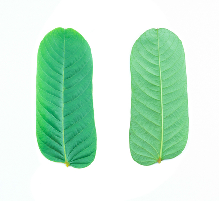 Closeup of  green leaf on white  background