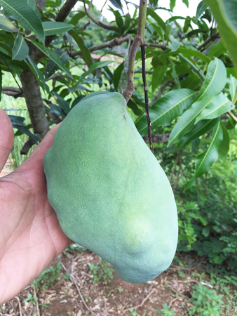 mango on tree in an agriculture Banco de Imagens