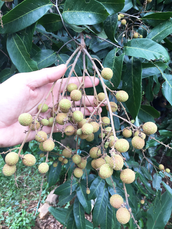 Young longan in an agriculture north of thailand, Tropical fruit Banco de Imagens