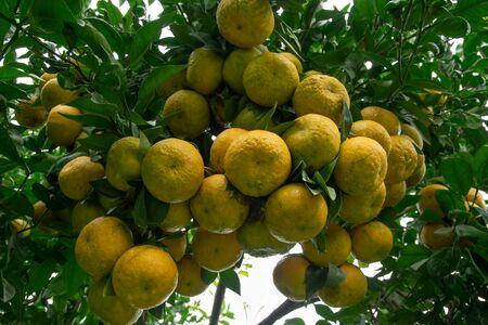 Batch of oranges on tree in the garden. North of thailand