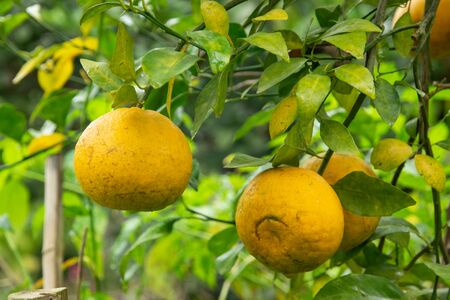 Batch of oranges on tree in the garden. North of thailand