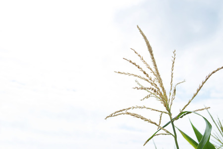 Spikelet of rice in the field on blue sky background