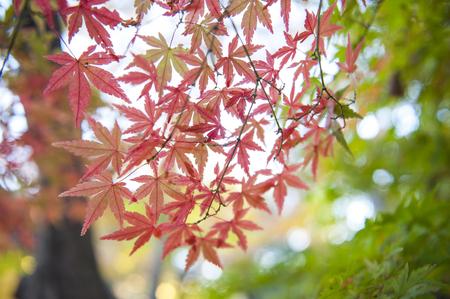 Autumn leaves of Japanese maple(Momiji) background