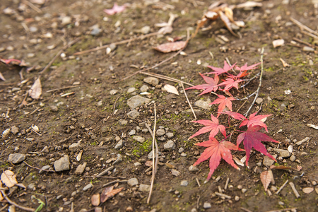 koyo: Colourful maple leave falling on the ground.