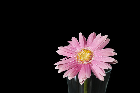 Bright pink Gerber Daisy with water drop isolated on black background. Stock Photo
