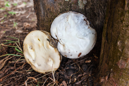 coagulate: Placed under para rubber tree  Stock Photo
