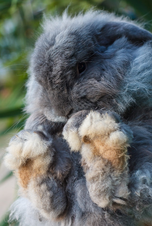 Holland Lop rabbit, black big feet.
