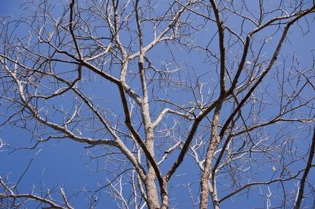 Dry tree on blue sky