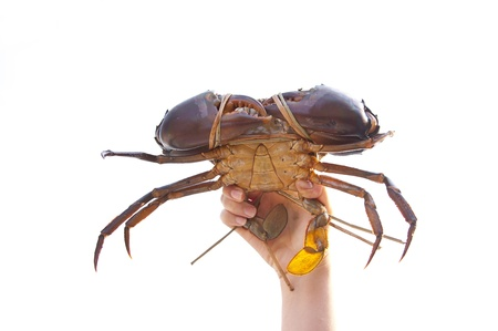 Crab on hand on white background, From farm Stock Photo