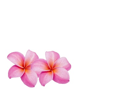Frangipani flower on white background  Stock Photo - 13600856