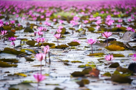 Lotus flower blossom of field, travel asia photo