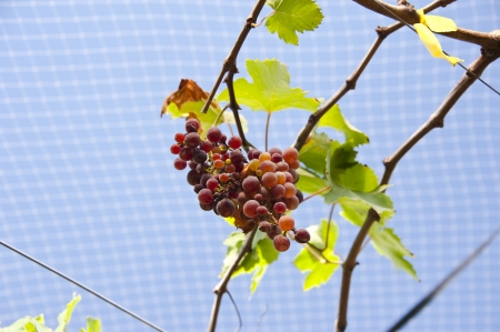 Grapes on Vine in Vineyard photo