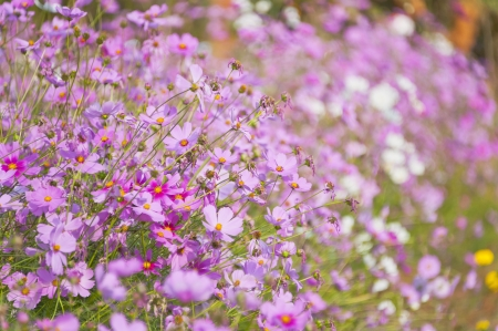 Cosmos Flower and bokeh background photo