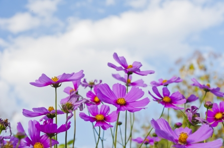 The Cosmos Flower and sky photo