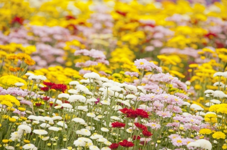 Chrysanthemum flowers  photo