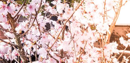 shiny background: Sakura Vintage Shiny Background Stock Photo