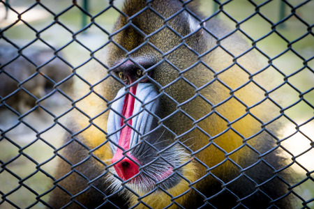 mandrill: Mandrill Baboon monkey colorful face behind a cage