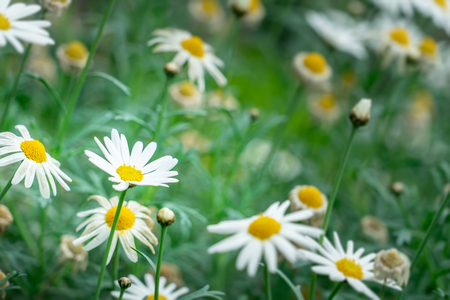 Many White daisy flower in a flwoer bed 스톡 콘텐츠