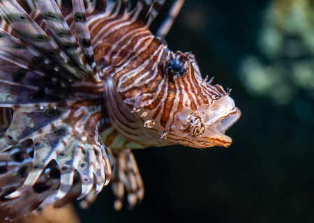 Lion fish closed up shot on fish face Stock Photo - 105938327
