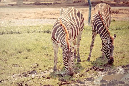 Couple of Zebra is eating and drinking from grass field