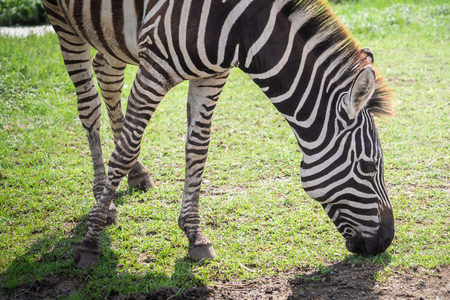 Zebra head eating grass on the ground