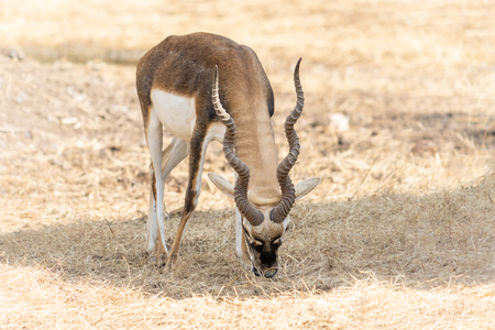 Impala with long horns standing on dried ground Imagens