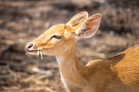 Yellow Little Baby deer eating grasses on the ground Фото со стока - 108675850