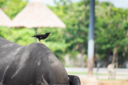 Black bird on Buffalo Rhino back in safara