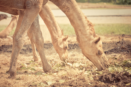 Camel is eating grasses on the ground